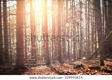 Autumn pine forest at sunset - stock photo