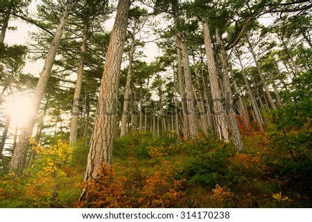 Autumn pine forest in rays of the dawn sun