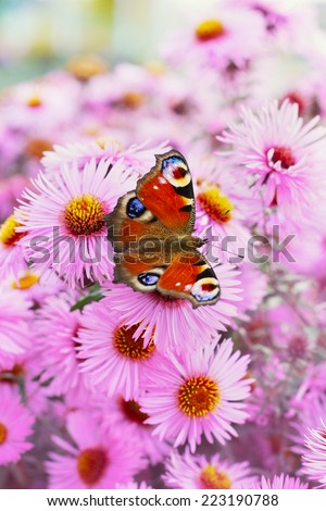 autumn pink chrysanthemum or aster flowers background with beautiful european peacock butterfly (latin name inachis io), lovely landscape of nature - stock photo