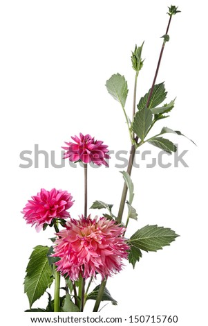 Autumn pink flowers isolated on a white background - stock photo
