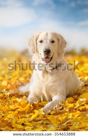 Autumn portrait of golden retriever junior lying in yellow leaves - stock photo