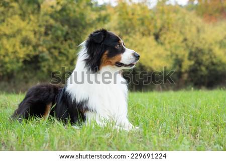 Autumn Portrait of nice Australian shepherd dog outdoors - stock photo
