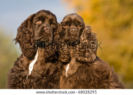 Autumn portrait of two nice american cocker spaniels - stock photo