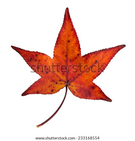 autumn red and orange maple leaf isolated - stock photo