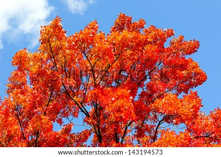 Autumn red and yellow maple leaves background