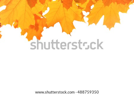 Autumn red and yellow maple leaves isolated on white background
