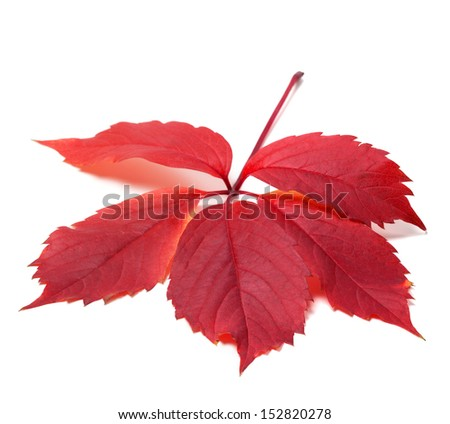 Autumn red leave (Virginia creeper leaf). Isolated on white background. - stock photo