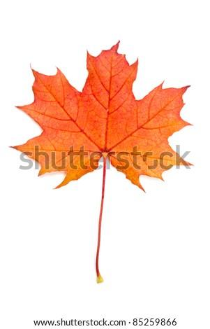 Autumn red maple leaf isolated on white background - stock photo