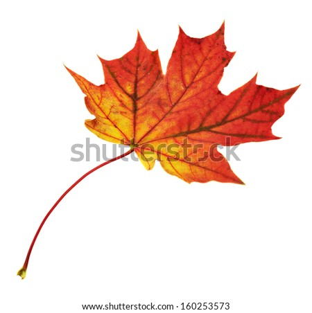 Autumn red maple-leaf isolated over white background