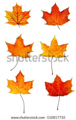 Autumn red maple leaves collection isolated on white - stock photo