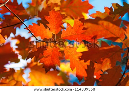 Autumn red oak leaves - stock photo