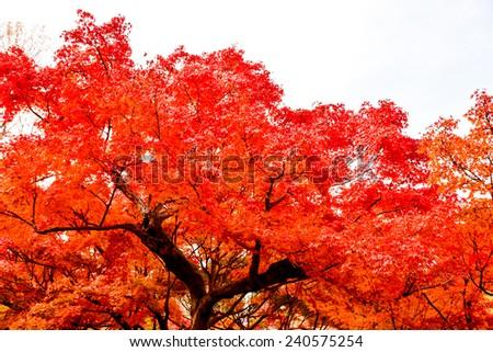 autumn red tree - stock photo