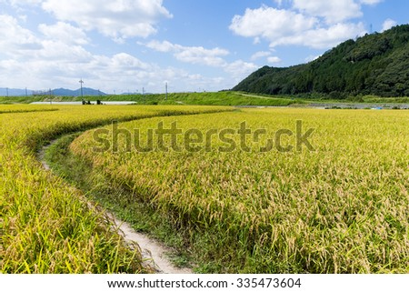 Autumn rice meadow - stock photo