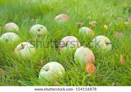 autumn - ripe apples of old variety in  green grass, some fallen leaves - stock photo
