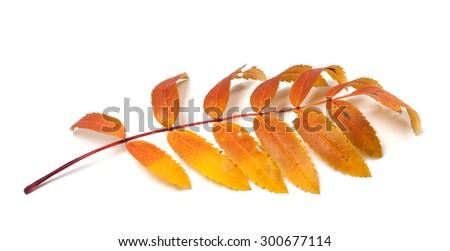 Autumn rowan leaves isolated on white background - stock photo