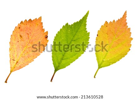 Autumn sakura leaves  isolated on white - stock photo