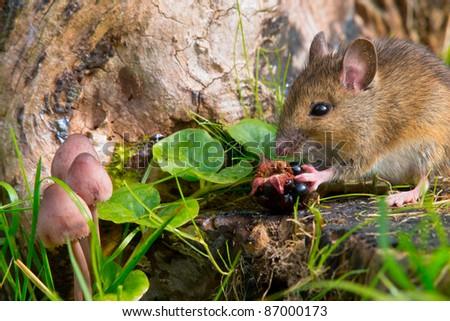 autumn scene mouse eating raspberry - stock photo