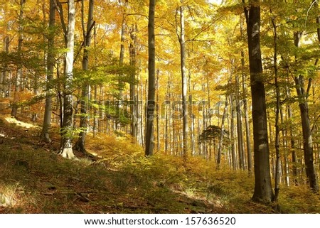 Autumn scenery in the beech forest on a sunny morning. - stock photo