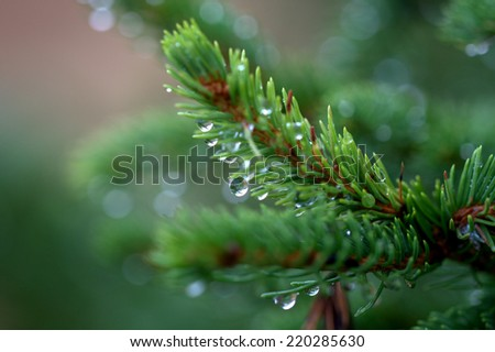 Autumn spruce needles detail