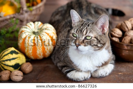 Autumn themed Cat portrait with Pumpkins and Walnuts - stock photo