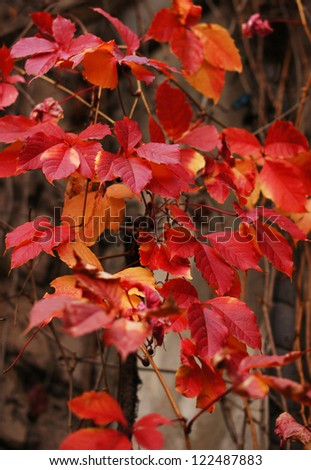 Autumn time: Old wall with red leaves of ivy plant