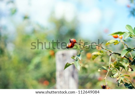 Autumn time: wild rose hips on the bush - stock photo