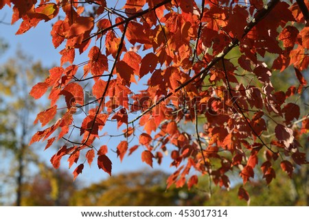 Autumn tints of maple leaves, Toyota, Japan - stock photo