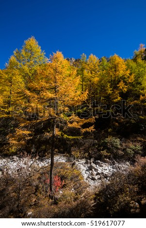 Autumn tree color at Yading national reserve at Daocheng County, in the southwest of Sichuan Province, China.