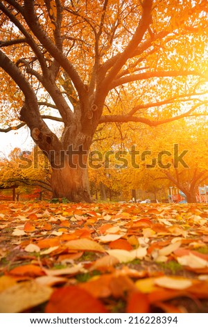 Autumn tree in park with colorful fall leaves  - stock photo