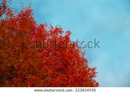 Autumn tree with red leaves against the blue sky. - stock photo
