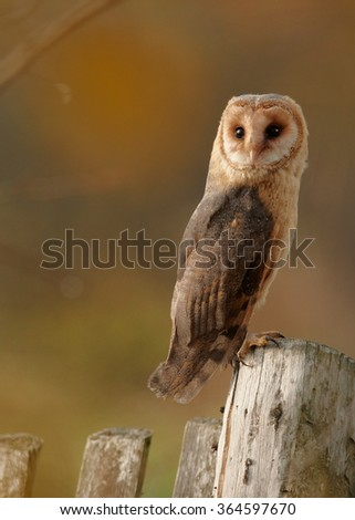 Autumn vertical photo Tyto alba guttata  Barn Owl perched on old wooden fence in late afternoon sun,staring directly at camera. Colorful orange background.    - stock photo