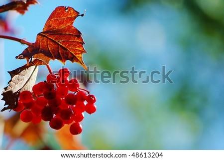 Autumn viburnum berries on the bush in sun light - stock photo