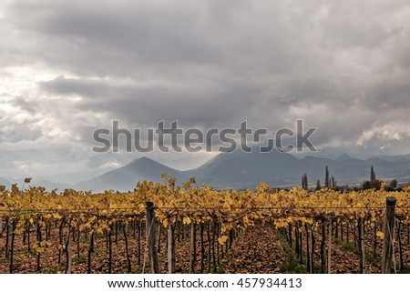 Autumn vineyard near Los Andes, Chile