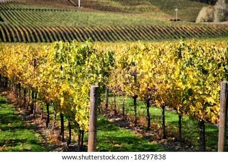 Autumn Vineyard - Rows of Grapevines in Fall - stock photo