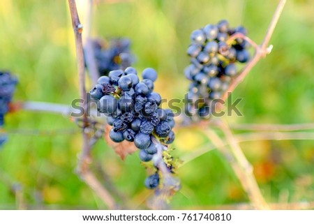 Autumn vineyard with ripe grapes. Grapes for ice wine. Close-up