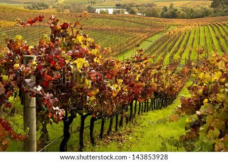 Autumn Vineyards - stock photo