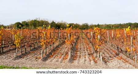 Autumn vineyards with colorful falling leaves