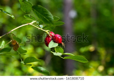 autumn vitamins (fruits of dog rose) - stock photo