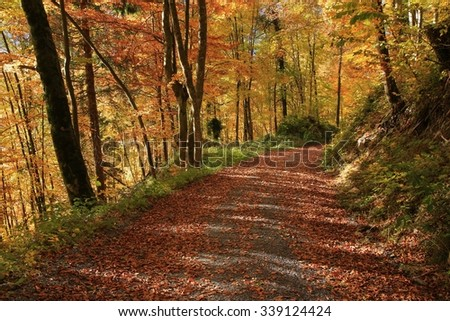 Autumn walk in a golden beech forest - stock photo