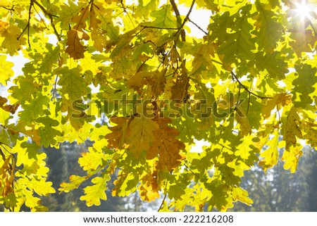 autumn wallpaper with oak leaves with sunbeam and lens flare