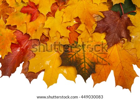 Autumn wet leaves after rain. Isolated on white background with clipping path