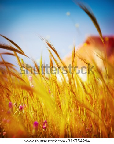 Autumn wheat field background, shallow depth of field, soft focus backdrop, harvest season, beautiful landscape in sunny day - stock photo