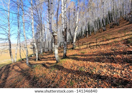 Autumn white birch forest in Xinjiang China.