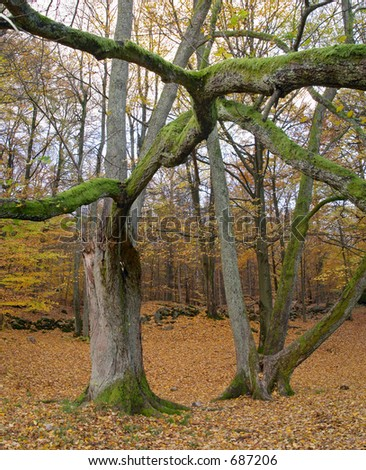 Autumn wood with trees and strange branch red and yellow leaves Sweden