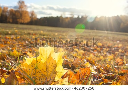 Autumn yellow foliage in the sunlight in the field