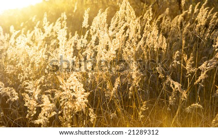 autumn yellow grass and sunset