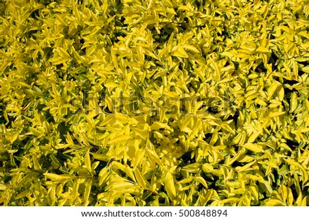Autumn Yellow Leaf shrub petals for background