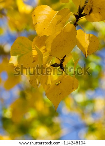 autumn yellow leaves