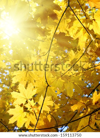 autumn yellow leaves and sun shining - stock photo