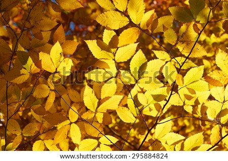 Autumn yellow leaves background in sunny day - stock photo